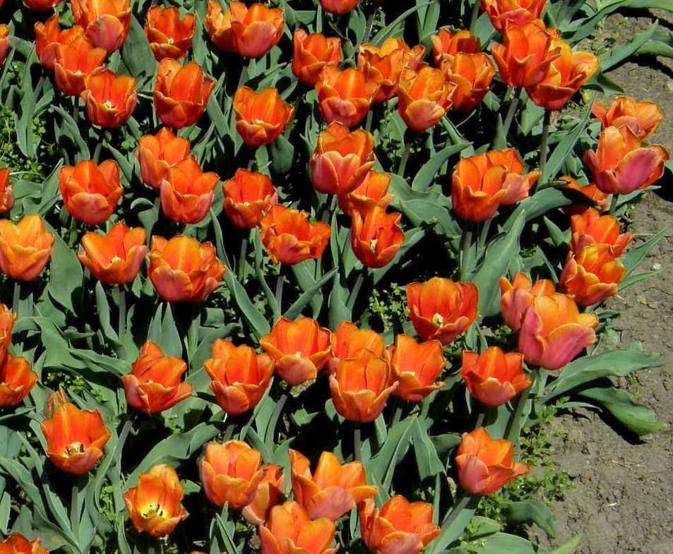 Garten-Tulpe Jimmy
