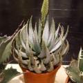 Kap-Aloe