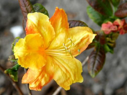 gro bl tige azalee rhododendron azalea klondyke 39 pflanzen enzyklop die. Black Bedroom Furniture Sets. Home Design Ideas