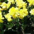 Garten-Tulpe Monte Carlo