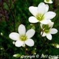 Moossteinbrech Schwefelblute