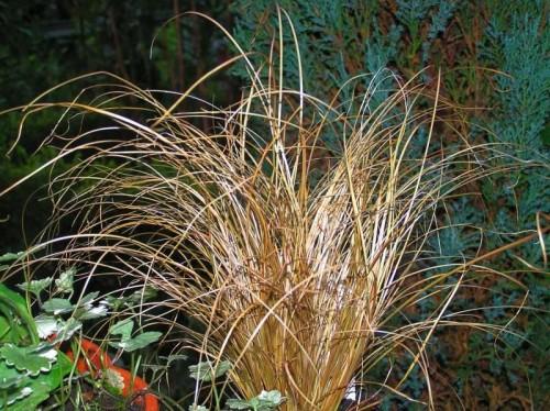 Neuseeland-Segge (Carex comans) 'Bronze Form\' | Pflanzen Enzyklopädie