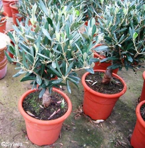 olivenbaum olea europaea pflanzen enzyklop die. Black Bedroom Furniture Sets. Home Design Ideas