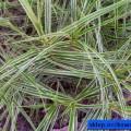 Palmwedel-Segge Oehme