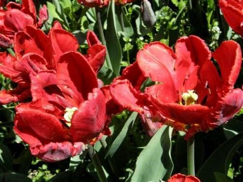 papagei tulpe tulipa hybr rococo pflanzen enzyklop die. Black Bedroom Furniture Sets. Home Design Ideas