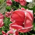 Garten-Tulpe Van Eijk