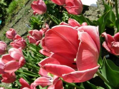 garten tulpe tulipa hybr van eijk 39 pflanzen enzyklop die. Black Bedroom Furniture Sets. Home Design Ideas