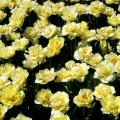 Garten-Tulpe Verona