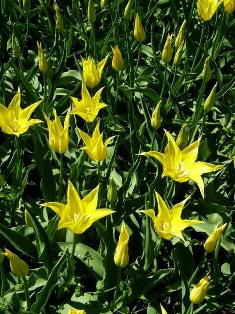 Garten-Tulpe West Point