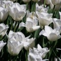 Garten-Tulpe White Wings