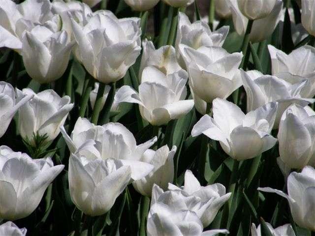 Garten-Tulpe White Wings
