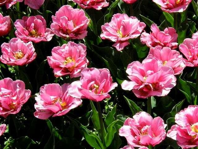 Garten-Tulpe Double Price