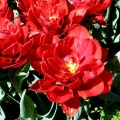 Garten-Tulpe Red Princes