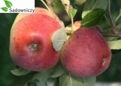 Apfel Delikates