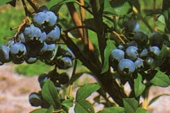 Amerikanische Heidelbeere Bluecrop