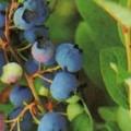 Amerikanische Heidelbeere Earliblue