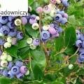 Heidelbeere North Country