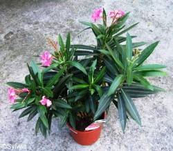 Oleander for Blumenerde ohne fliegen