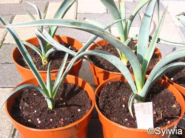 Blaue Palmlilie