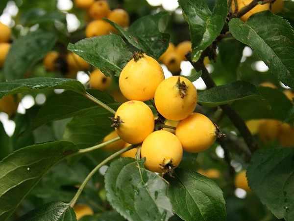 Apfel Golden Hornet