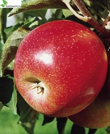 Apfel Jonagold Decosta