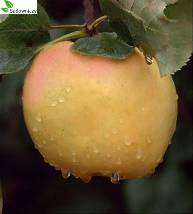 Apfel Kronselka