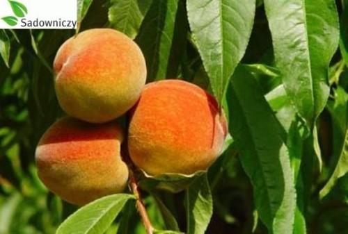 aprikose prunus armeniaca somo 39 pflanzen enzyklop die. Black Bedroom Furniture Sets. Home Design Ideas