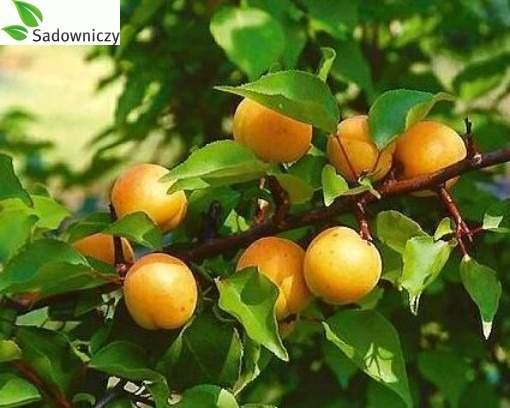 Aprikose Early Orange