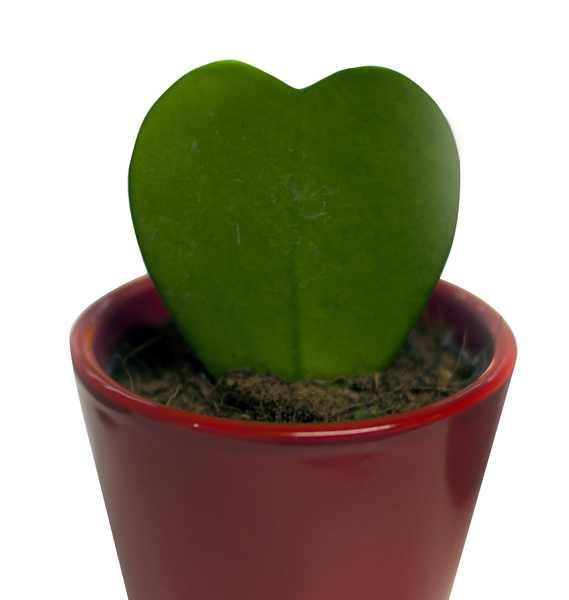 Herzpflanze