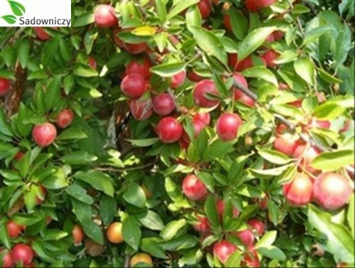 pflaume prunus domestica 39 pfirsichpflaume 39 pflanzen enzyklop die. Black Bedroom Furniture Sets. Home Design Ideas