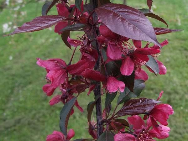 Purpur-Apfel Royalty