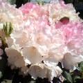 Rhododendron-Yakushimanum Silberwolke