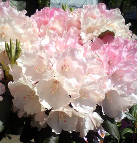 rhododendron yakushimanum rhododendron yakushimanum. Black Bedroom Furniture Sets. Home Design Ideas