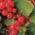 Rote Johannisbeere Rote Holländische