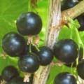 Schwarze Johannisbeere Titania