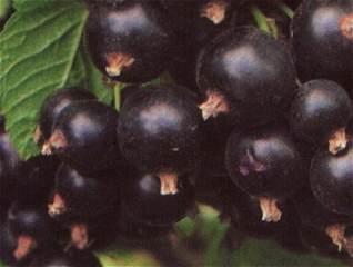 Schwarze Johannisbeere Bona