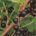 Schwarze Johannisbeere Tisel
