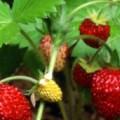 Wald-Erdbeere Regina