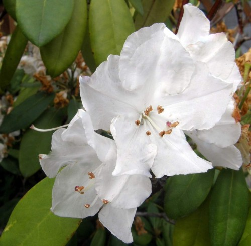 gro bl tige azalee rhododendron motyl pflanzen. Black Bedroom Furniture Sets. Home Design Ideas
