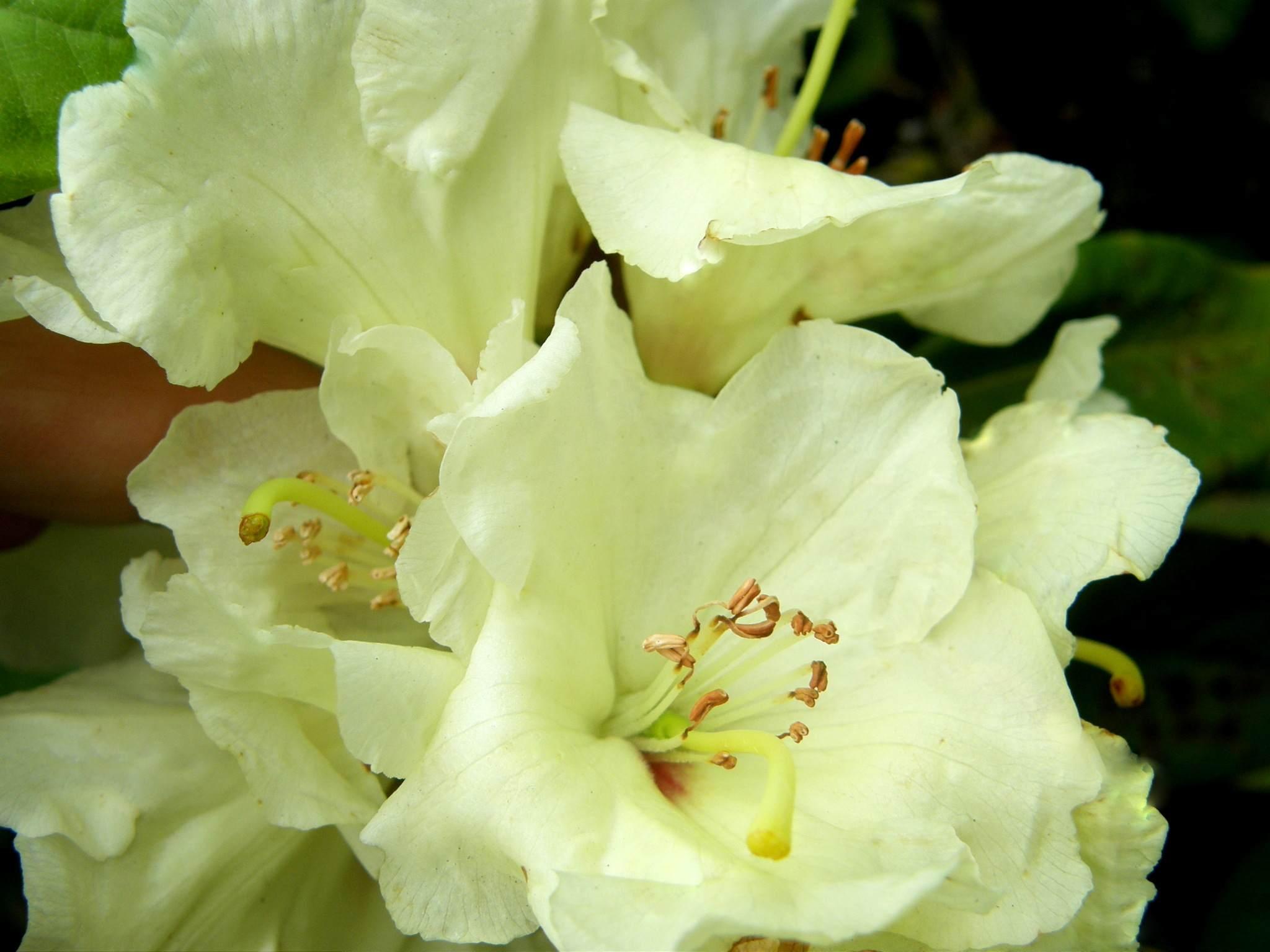 Großblütige Azalee Lachsgold