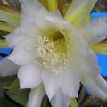 Epiphyllum crenatum