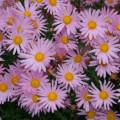 Herbstchrysantheme Clara Curtis
