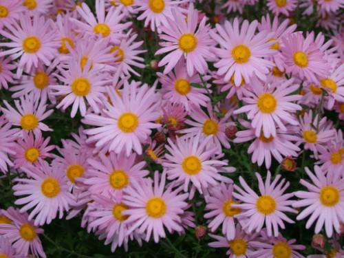 Herbstchrysantheme Dendranthema Rubellum Clara Curtis Pflanzen