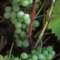 Weinrebe Prim