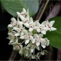 Australische Porzellanblume