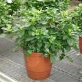 Blumen-Gardenie Veitchii