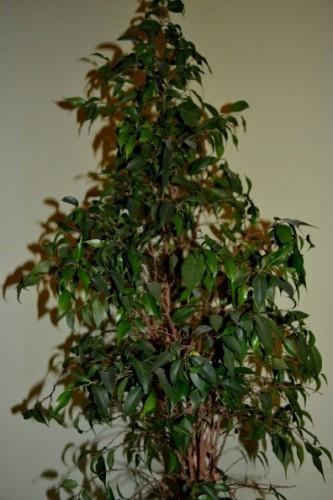 Beliebt Bevorzugt Birkenfeige (Ficus benjamina)   Pflanzen Enzyklopädie @GB_04