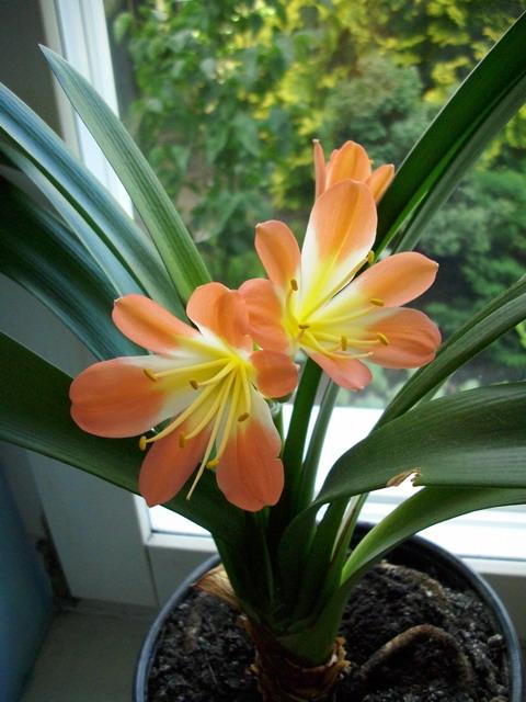 Klivie clivia miniata for Zimmerpflanzen dekorativ