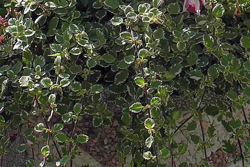 Weihrauch Marginatus