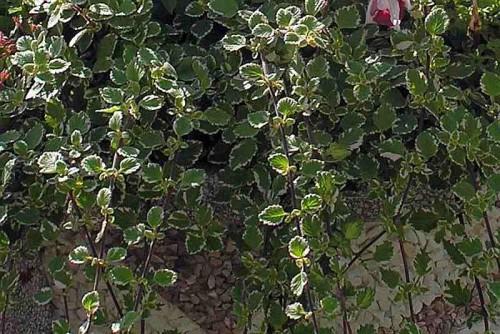 weihrauch plectranthus coleoides hort marginatus 39 pflanzen enzyklop die. Black Bedroom Furniture Sets. Home Design Ideas